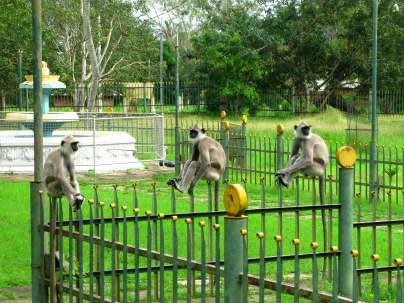 Monkeys on a Fence - Anuradhapura