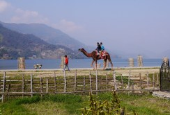 A Camel ? In Pokhara? WTF?