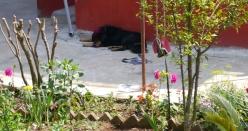 Tiger, A Tibetan Mastiff
