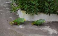 Parrots - Baños