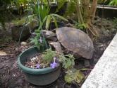 Turtle in the garden- Baños