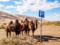 Camels - Khongoryn Els Sand Dunes