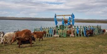 Goats - Ogii Nuur