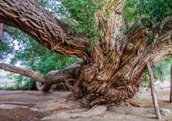 700 Year Old Shaman Weeping Willow - Altyn Emel National Park
